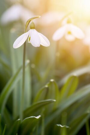Snowdrops blooming in sunny day. Spring has arrived. Standard-Bild