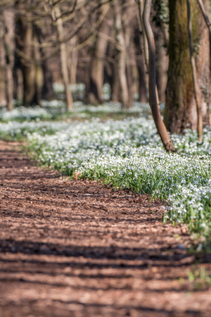 Forest full of snowdrop flowers in spring season. Standard-Bild