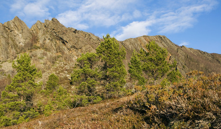pinaceae: Abstract mountain and pinaceae
