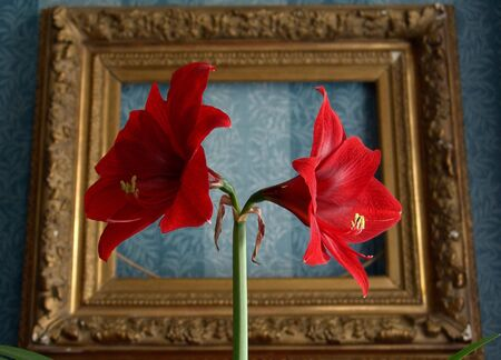 Red flower on a background of an old frame   Stock Photo