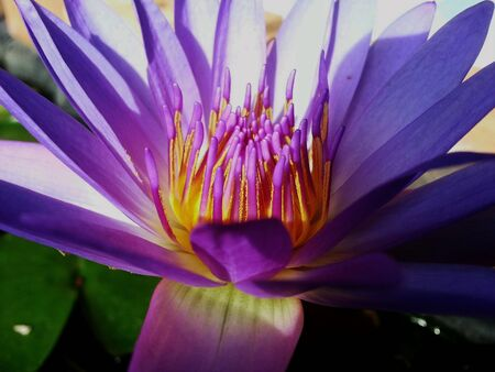 purple lotus: Purple lotus flower Stock Photo