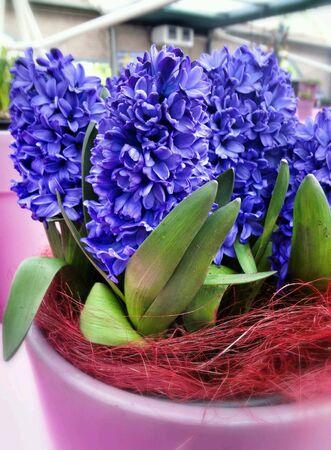 hyacinth: Purple hyacinth Stock Photo