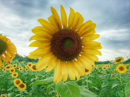 bright: Sunflowers
