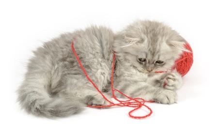 hilo rojo: gatito de pelo largo divertido gnawling hilo rojo Foto de archivo