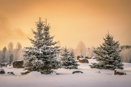 small spruces in snowy park photo