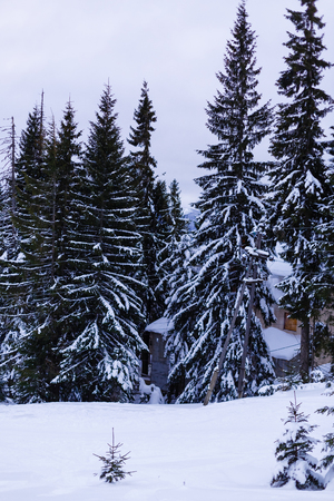 Beautiful winter landscape with snow covered trees Christmas trees in the winter mountains