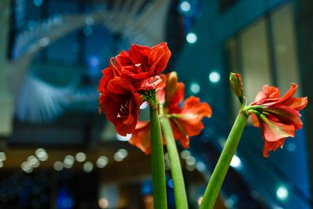 Hibiscus Flower. Shallow DOF red flowers bokeh