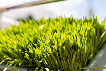 Background of freshly grown sprouts. Macro shot.
