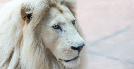 Lion. Portait lion in white lights. Photo of the animal world. Portrait of a dominant predator.