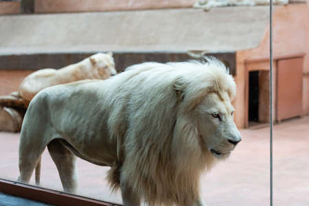 white lion in the zoo, the king of animals