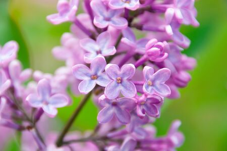 blooming lilac close up macro on a green background