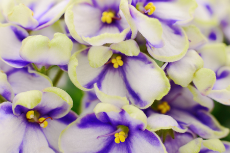 Saintpaulia (African violets), background.