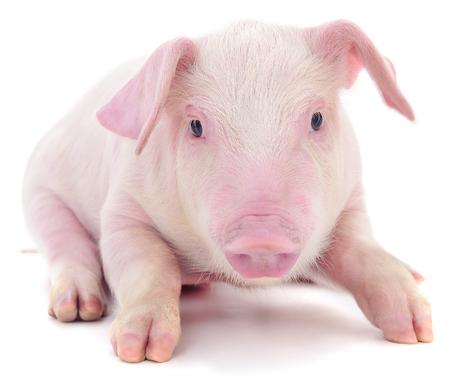 Piccolo maiale rosa che è isolato su sfondo bianco. Archivio Fotografico