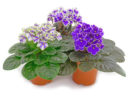 Saintpaulia in a pot on a white background