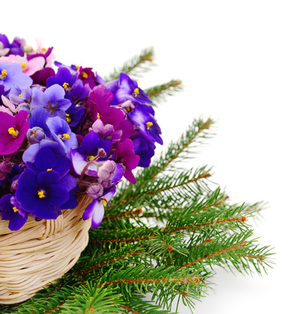 Saintpaulia (African violets) in basket isolated on white background. Christmas.