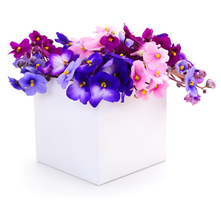 Saintpaulia (African violets) in box isolated on white background. Christmas.