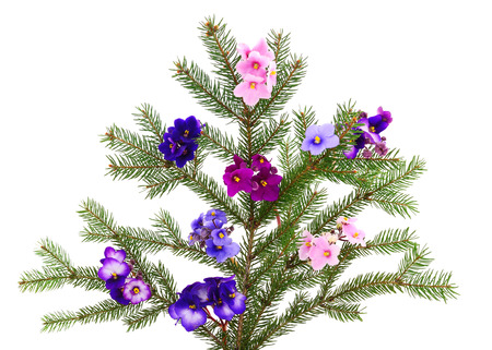 Saintpaulia (African violets) isolated on white background. Christmas.