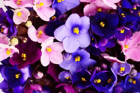 Saintpaulia (violettes africaines), fond. Banque d'images