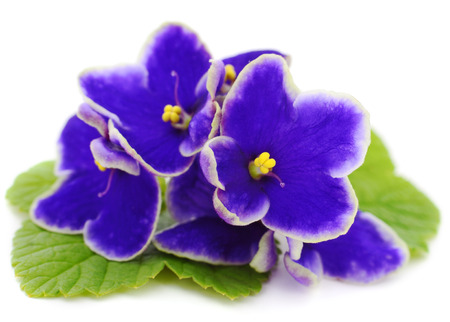 Saintpaulia (African violets) isolated on white background.