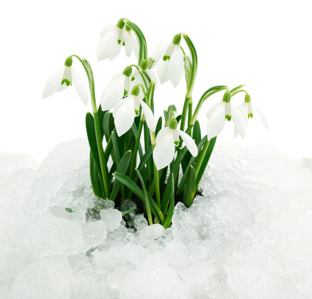 Spring flowers (snowdrops), isolated on white background.