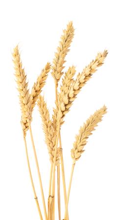 Ripe ears of wheat isolated on white background. Reklamní fotografie