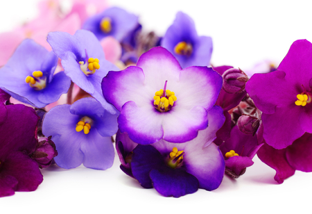 Saintpaulia (African violets),isolated, background.