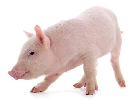 Piccolo maiale rosa che è isolato su sfondo bianco.