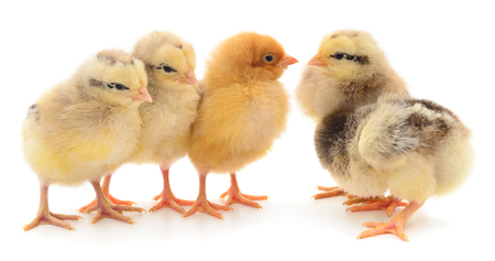 Five yellow chickens. Four yellow chickens on a white background. Reklamní fotografie