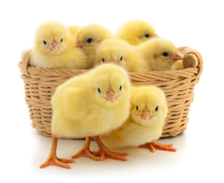 Small yellow chickens in basket.Yellow chickens on a white background.