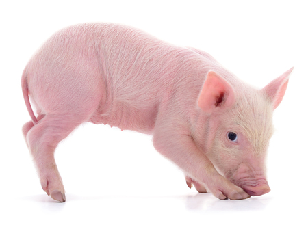 Small pink pig who is isolated on white background. Фото со стока - 120672152