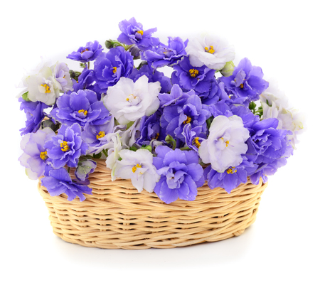 Saintpaulia (African violets) in basket isolated on white background. Stock Photo