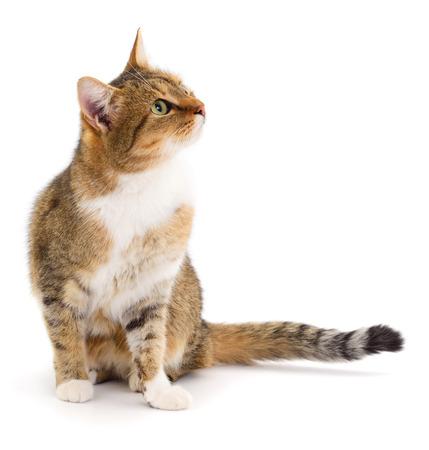Hermoso gato de casa marrón sobre un fondo blanco.