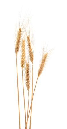 Ears of barley isolated on white. Background. Studio shot.