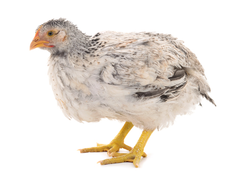 Young gray hen isolated on white background. 写真素材