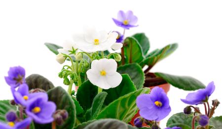 Saintpaulia (violettes africaines) isolé sur fond blanc.