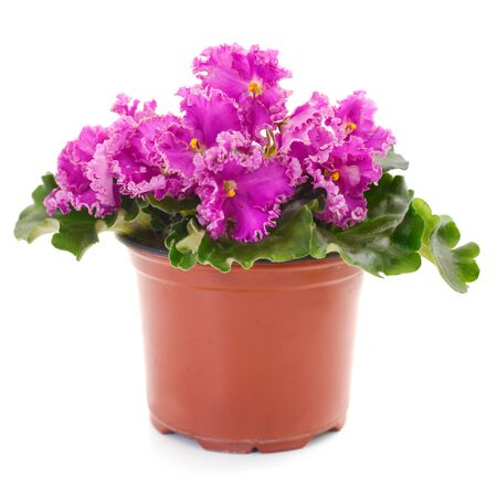 Saintpaulia (African violets) isolated on white background. Banque d'images