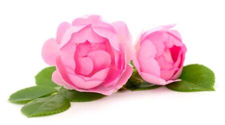 Flor color de rosa rosa en rama y hoja aislada sobre fondo blanco.