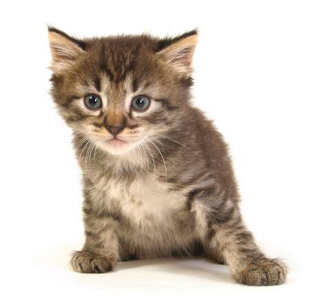 Small gray kitten on a white background. Stock Photo