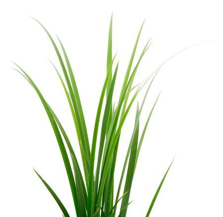 Bouquet d'herbe verte fraîche isolée sur fond blanc. Banque d'images
