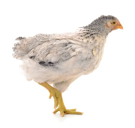 Young gray hen isolated on white background.