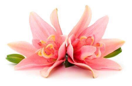 Due giglio rosa isolato su sfondo bianco. Archivio Fotografico