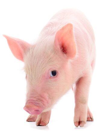 Kleines rosa Schwein, das auf weißem Hintergrund lokalisiert wird.