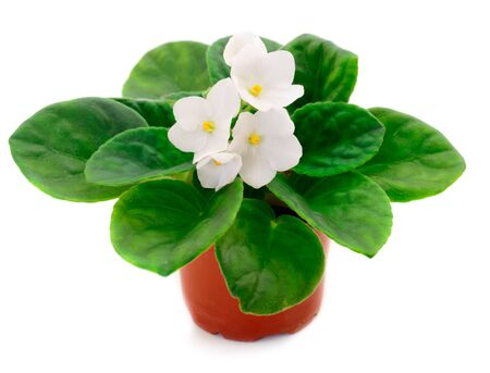 Saintpaulia in a pot on a white background.