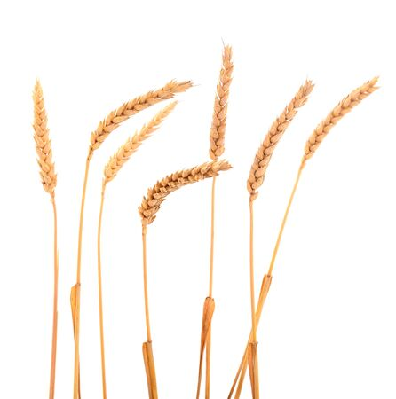 Ripe ears of wheat isolated on white background. Stock fotó
