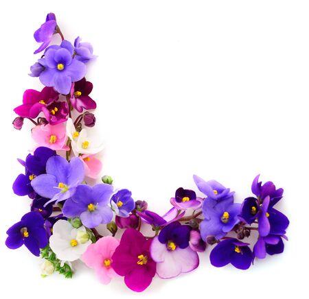 Violettes africaines Saintpaulia isolées sur fond blanc.