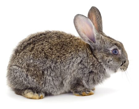 Gray rabbit isolated on a white background. Imagens