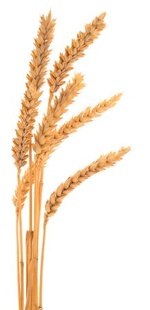 Ripe ears of wheat isolated on white background. Banque d'images