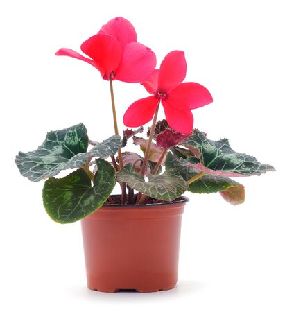 Pink cyclamen in a pot isolated. On white background isolation.