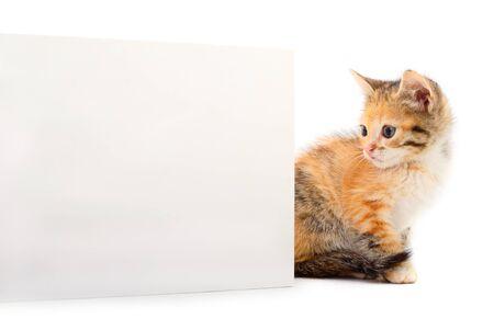 Kitten with blank. Kitten with blank on white background. 版權商用圖片