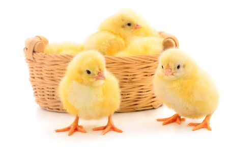 Four yellow chickens in basket. Four yellow chickens on a white background. Foto de archivo - 134867630